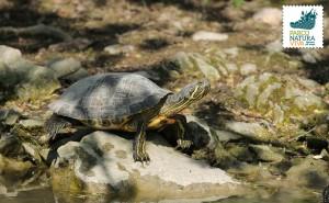 Tartaruga palustre americana