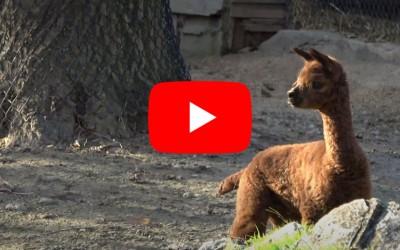 È nato un alpaca al Parco!