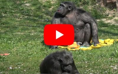 Jane Goodall e l'appello per gli scimpanzé