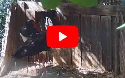 Tris di piccoli di cicogna nera