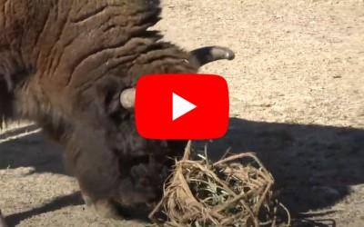 Anche i bisonti giocano a palla