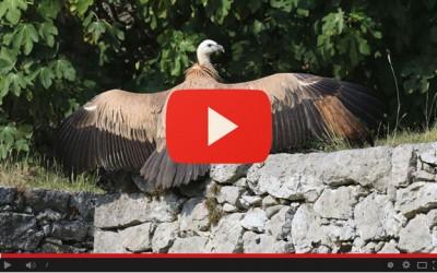 Il rilascio di Iltan, l'avvoltoio grifone