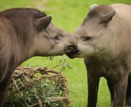 Il tapiro sudamericano