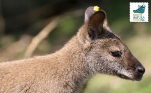 Wallaby dal collo rosso